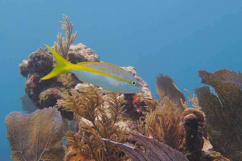 Caribbean Sea, corals a Yellowtail snapper