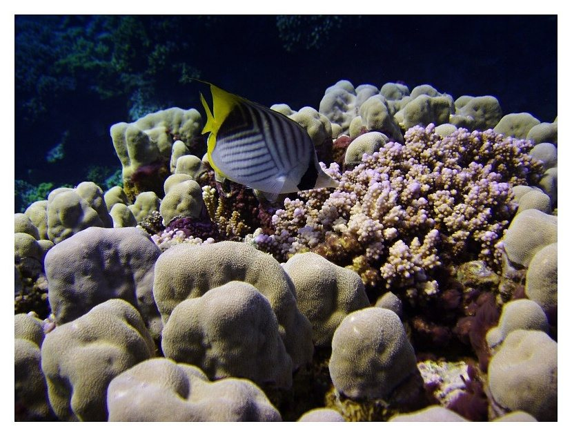 Butterflyfish and coral reef