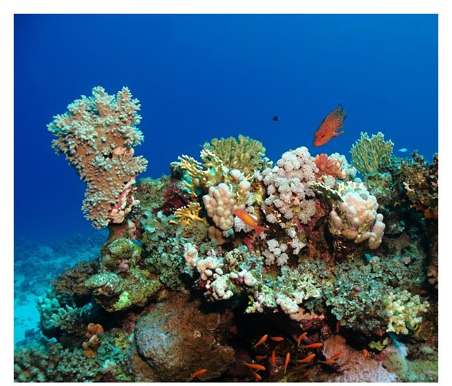 Corals and Red Sea coral grouper
